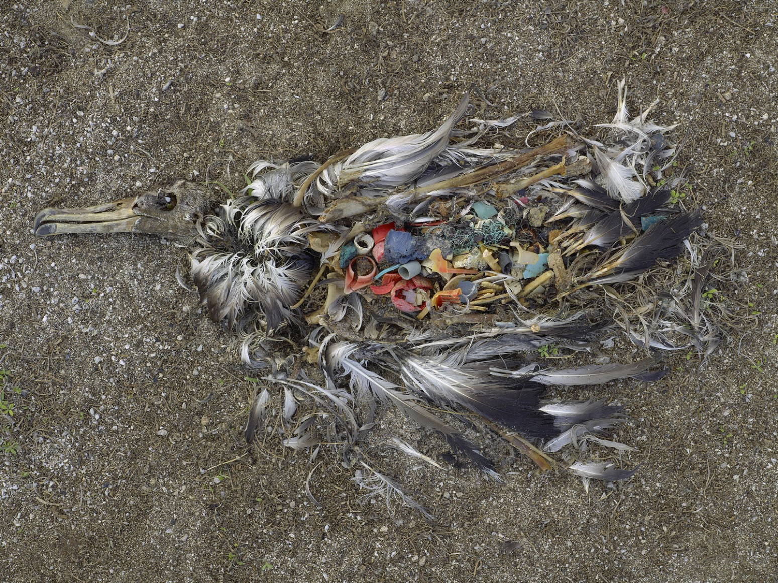 CF000478 Unaltered stomach contents of a Laysan albatross fledgling,Midway Island, 2009 (dalla serie Midway: Message from the Gyre)