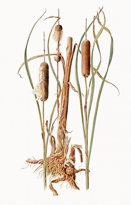 36238_Typha-latifolia