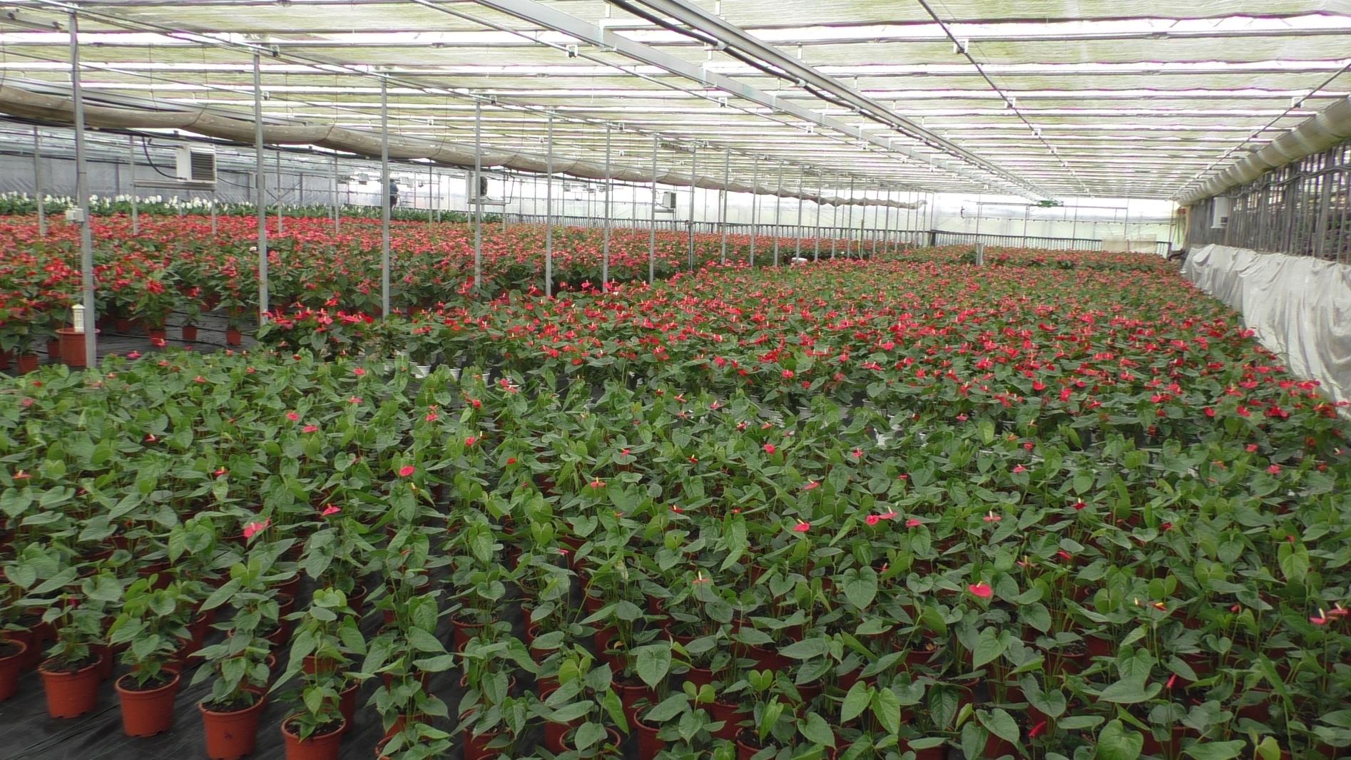 </span></figure><em>Una distesa di Anthurium dell'azienda Bano</em>